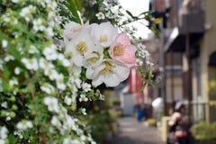 Prunus yedoensis in Osaka`s Slum area. Prunus yedoensis in Osaka`s Slum area Japan Stock Photos