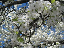 White cherry blossom in bloom Royalty Free Stock Photography