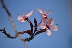 Prunusblüte im Stadtgarten Stockbild