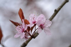 Prunusblüte im Stadtgarten Stockfoto