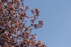 Prunuscerasifera Stock Afbeeldingen