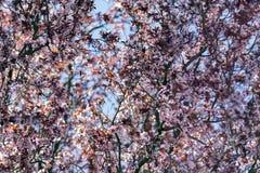 Prunuscerasifera Royaltyfri Bild