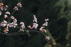Prunuscerasifera Arkivbilder
