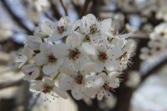 PrunusCerasifera blomma Fotografering för Bildbyråer