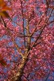 Prunuscerasoides 2 Arkivbilder