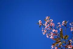 Prunuscerasoides Arkivbild