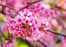 PrunusCerasoides rosa färger Arkivfoton