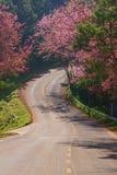 Prunuscerasoidesväg Royaltyfri Foto