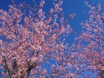Prunusen Cerasoides har härliga rosa blommor Fotografering för Bildbyråer