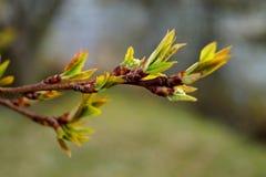 Prunuspadusen startar att spira på våren Arkivfoto