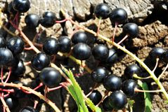 Prunuspadushägg, hackberry, hagberry, maydayträdfilialer med svarta bär och sidor på skäll för grå poppel royaltyfri fotografi