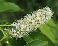 Prunusserotina in Bloei stock foto