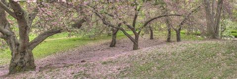 Prunusserrulata eller japankörsbär Arkivbilder