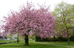 Prunusserrulata eller japankörsbär Arkivfoto