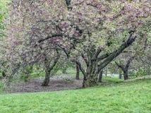 Prunusserrulata eller japankörsbär Royaltyfri Foto