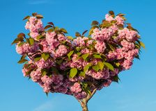 Prunusserrulata Kanzan stock foto's