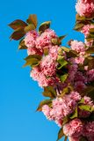 Prunusserrulata Kanzan Royalty-vrije Stock Fotografie