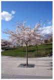 Prunusserrulata - Stockholm Stock Foto's