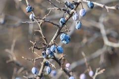 Prunusspinosa Arkivbilder