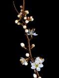 Prunusspinosa, dichte omhooggaand van de Sleedoornbloesem over rug royalty-vrije stock fotografie