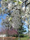 Prunusyedoensis (den vita körsbärsröda blomningen) Royaltyfri Foto