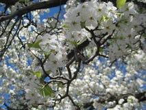 Prunusyedoensis (den vita körsbärsröda blomningen) Royaltyfri Fotografi