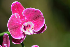 Pruple Orchid. Purple orchid against green background with shallow depth of field Stock Photos