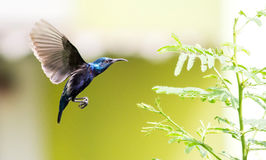 Pruple Sunbird Stockfoto