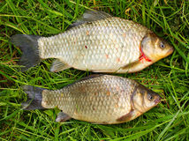 The prussian carp (Carassius auratus gibelio).. Stock Photos