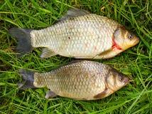 The prussian carp (Carassius auratus gibelio).. Stock Photos