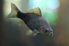 Prussian carp (Carassius gibelio). Royalty Free Stock Photos