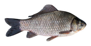 Prussian carp (Carassius gibelio) on a white background Stock Photography