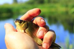 Prussian carp in the hand. Caught Prussian carp on the human hand Stock Photography
