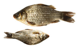 Prussian carp, Silver, Gibel Stock Photos