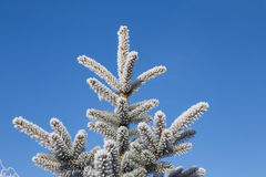 Prydlig filial med frost på bakgrund för blå himmel jul min version för portföljtreevektor Royaltyfri Fotografi