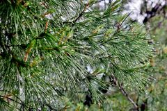 Prydlig grön filial med kottar och vattendroppar efter regn royaltyfri foto