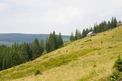Prydlig skog i de ukrainska Carpathiansna Hållbart klart ekosystem arkivfoton