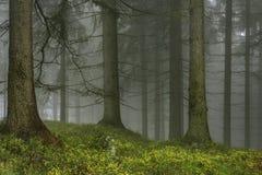 Prydlig skog med dimma Arkivfoton