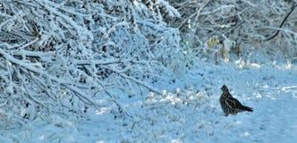 Prydlig skogshöns i snön Arkivbilder