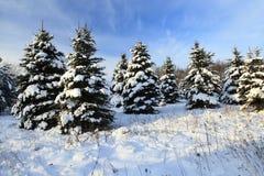 Prydlig vinter - gran isolerad treewhite Royaltyfria Bilder