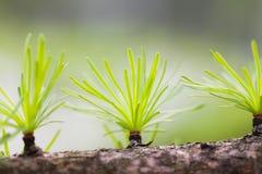 Prydlig visarmakrosikt Granträdfilial med knoppar slapp bakgrund Naturplats, vårskog Royaltyfria Foton