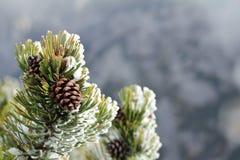 Prydliga kottar i skogen i bergen, barrträd i djurliv i början av vintern på bakgrunden arkivbild