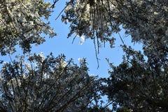 Prydliga träd för Frostbitten krona i skogen, iskalla filialer, blå himmel Arkivbild