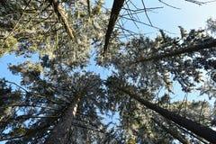 Prydliga träd för Frostbitten krona i skogen, iskalla filialer, blå himmel Royaltyfri Bild