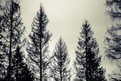 Prydliga träd, svarta konturer över molnig himmel Royaltyfria Foton