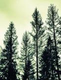 Prydliga träd, svarta konturer, gör grön det tonade fotoet Royaltyfria Bilder
