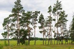 Prydligt skogUkraina fält Kvarteret av sörjer träd arkivbilder