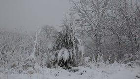 Prydligt träd med många kottar i en snöstorm Grå och stormig vinterdag