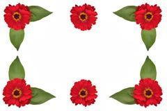 Prydnad av röda zinnias och sidor ett fritt utrymme för text på en wh Fotografering för Bildbyråer