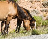 Pryor Mountain mustangs. Free roaming mustangs in the Pryor Mountain wild horse range in Wyoming Stock Photos